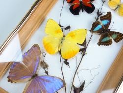 Коллекции бабочек