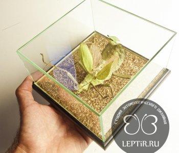 Палочник Гетероптерикс в кубе