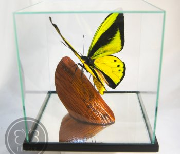 Птицекрылка Голиаф ♂ в кубе