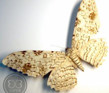 Совка Агриппина