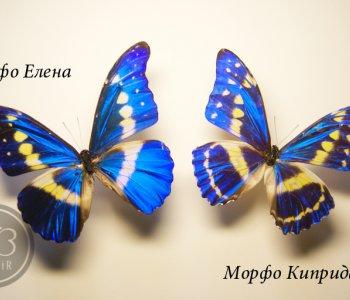 Морфо Киприда