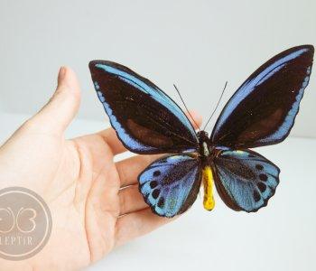 Птицекрылка Урвиллиан ♂