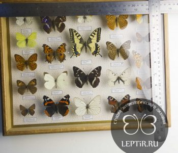 Коллекция дневных бабочек России