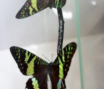 Пара Ураний самец и самка