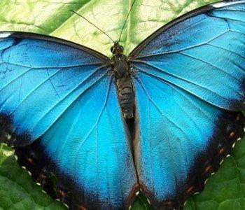 Голубая Морфо Пелейда