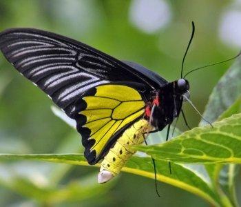 Золотая Птицекрылка Радамантус
