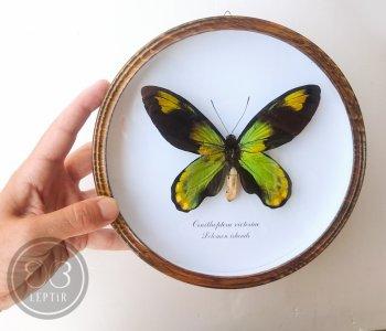 Птицекрылка королевы Виктории (круглая)