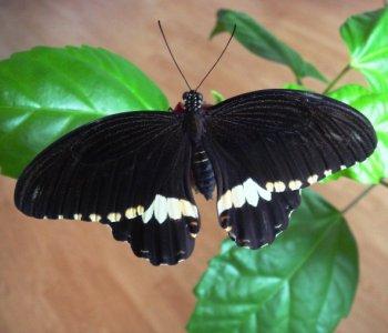 Бабочка Полит