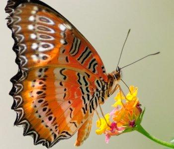 Бабочка Библис Златоглазка