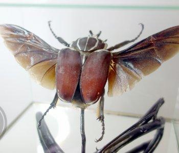 Жук Голиаф в кубе (корич.форма) самец