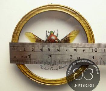 Бронзовка Тириноррина (круглая)