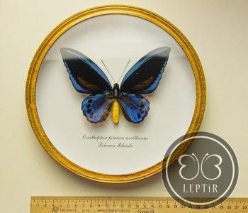 Птицекрылка Урвиллиан (круглая)