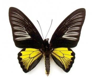 Troides rhadamantus самец (в пакетиках)