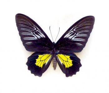 Птицекрылка самка (слож. крылья)