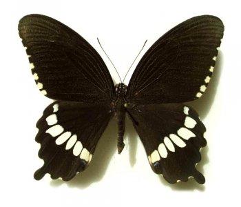 Papilio polytes самец (в пакетиках)