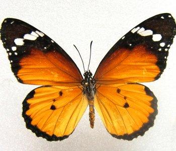 Хризип (сложенные крылья)