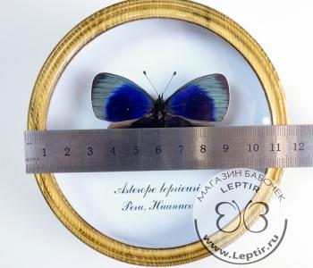 Астеропе Лепреури (круглая)