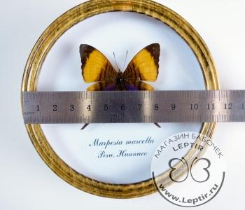 Марпезия Марцелла (круглая)