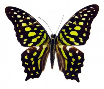 Агамемнон (сложенные крылья)