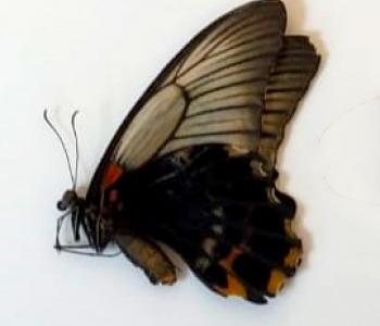 Мемнон (сложенные крылья)