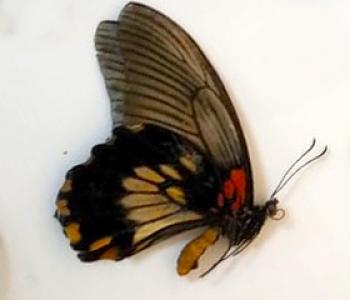 Лови (сложенные крылья)