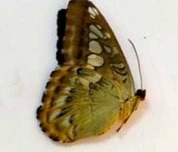 Сильвия (сложенные крылья)