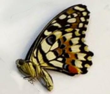 Демолей (сложенные крылья)