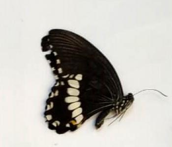 Полит самец (сложенные крылья)