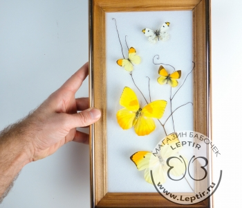бабочки Желтушки микс 2
