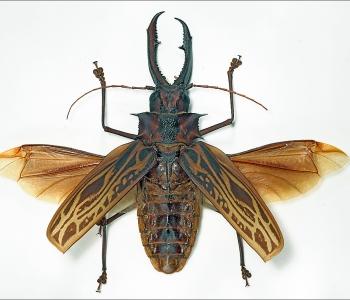 Макродонтия большезуб Бразильский