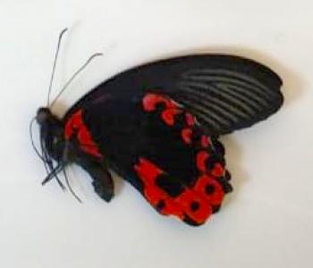 Парусник Руманзовия (сложенные крылья)