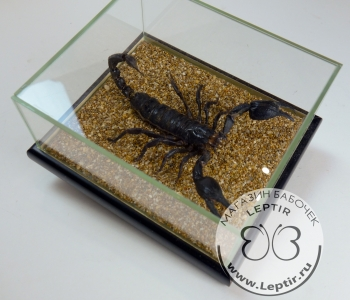 Скорпион в Кубе