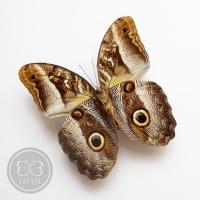 Бабочка Сова (Калиго)