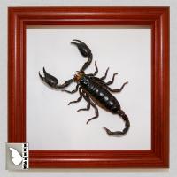 Скорпион Гетерометрус