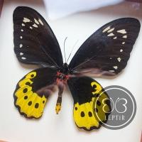 Птицекрылка Голиаф ♀