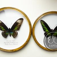 Трогоноптера Брукиана ♀ (круглая)