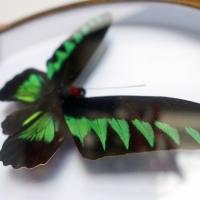 Трогоноптера Брукиана ♂ (круглая)