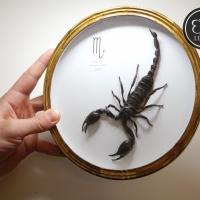 Скорпион в круглой рамке