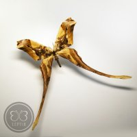 Павлиноглазка Копиоктерикс