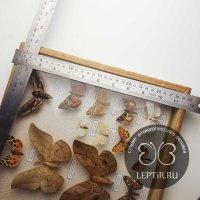 Коллекция ночных бабочек России