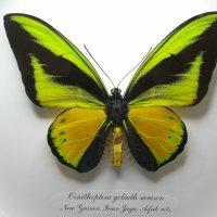 Птицекрылка Голиаф ♂ (в круглой)