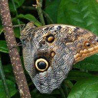 Бабочка Сова Калиго
