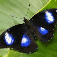 Лунная бабочка Болина