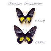 Золотая Птицекрылка Радамант ♀