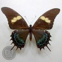 Парусник Андрогеус ♀
