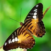 Тигровая бабочка Сильвия