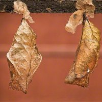 Куколка бабочки Совы (Калиго мемнон)