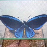 Птицекрылка Урвиллиан в кубе