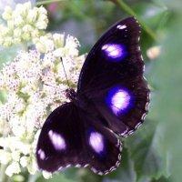 Куколка Лунной бабочки Болины