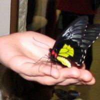 Куколка Золотой Птицекрылки